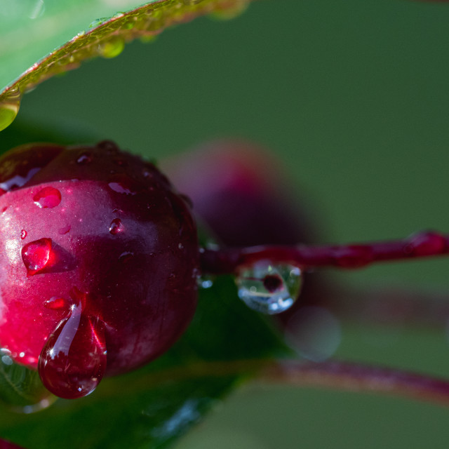 """Water Droplets on a Crabapple"" stock image"