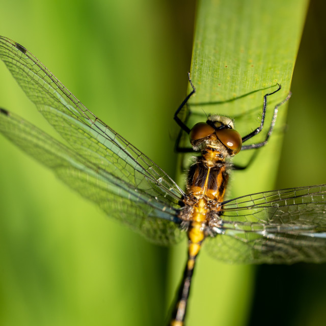 """Dragonfly Close Crop on a Reed"" stock image"