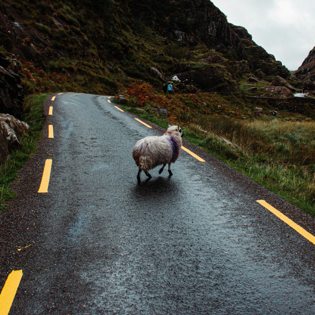 """Sheep Crossing the Road on the Gap of Dunloe"" stock image"