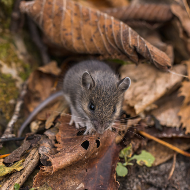 """Field Mouse Looking Up From Leaves"" stock image"