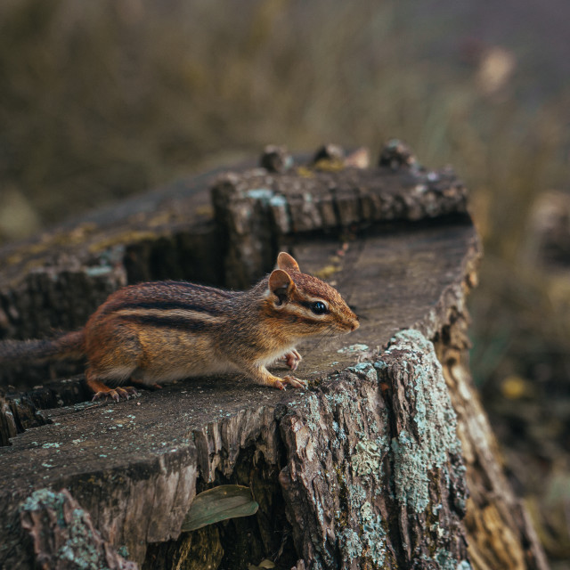 """Chipmunk Watching from a Stump"" stock image"