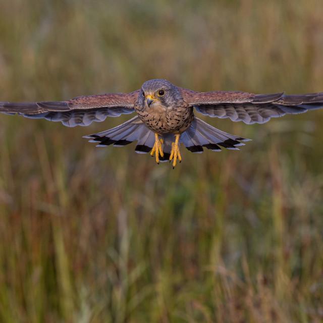 """""""tiercel kestrel, in flight"""" stock image"""