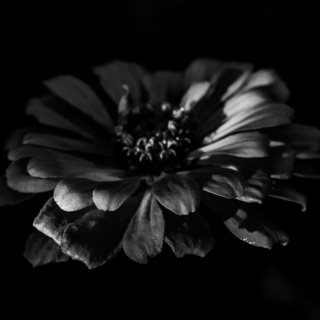 """Black and white single flower"" stock image"