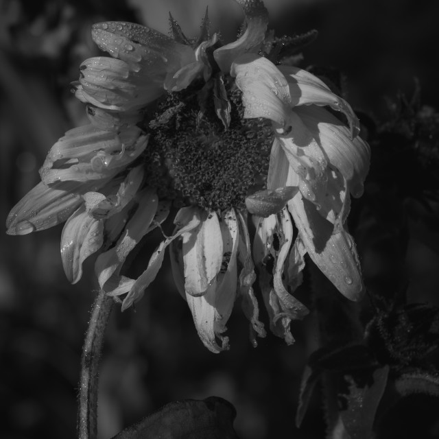 """Black and White Sunflower"" stock image"