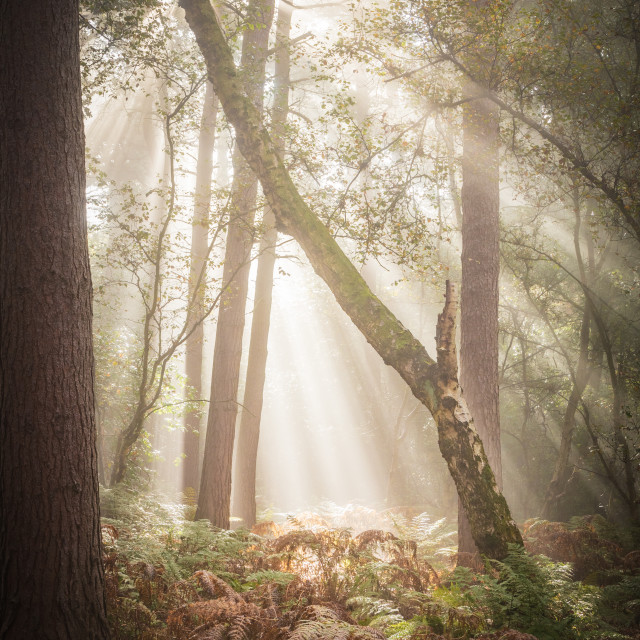 """""""Beams and Boughs"""" stock image"""