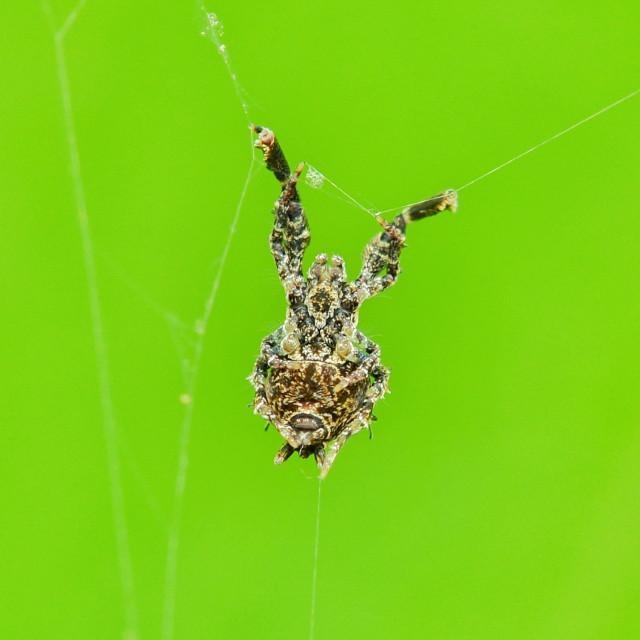 """""""Uloboridae Spider"""" stock image"""
