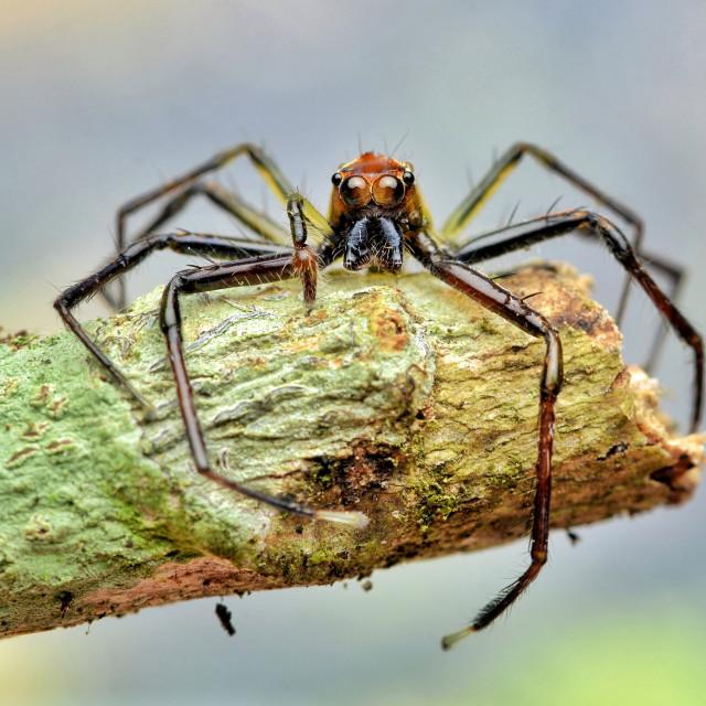 """The Epeus Spider"" stock image"