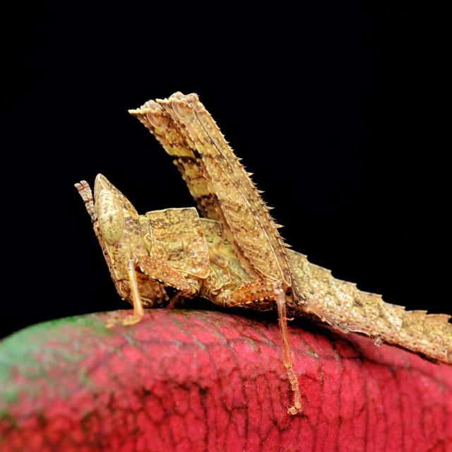 """Matchstick Grasshopper"" stock image"