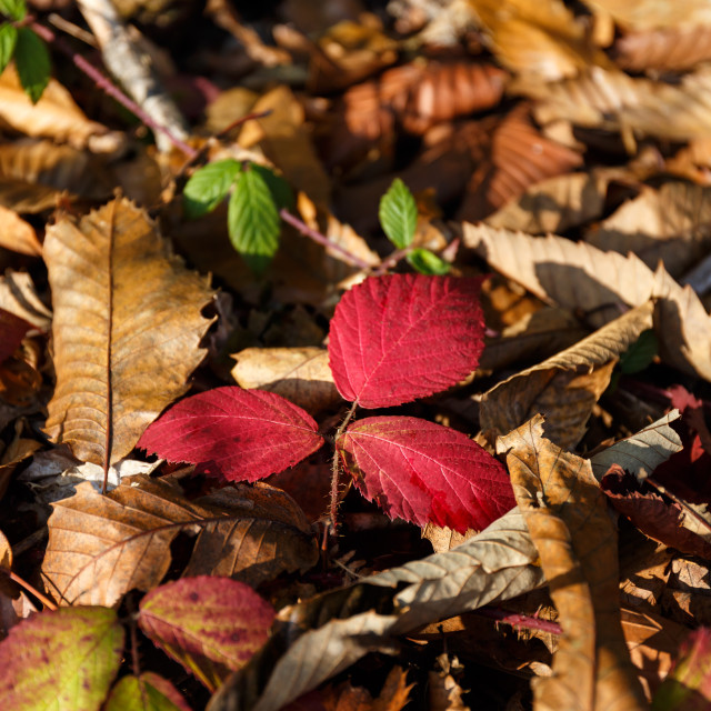 """""""Three red leaves on the ground"""" stock image"""