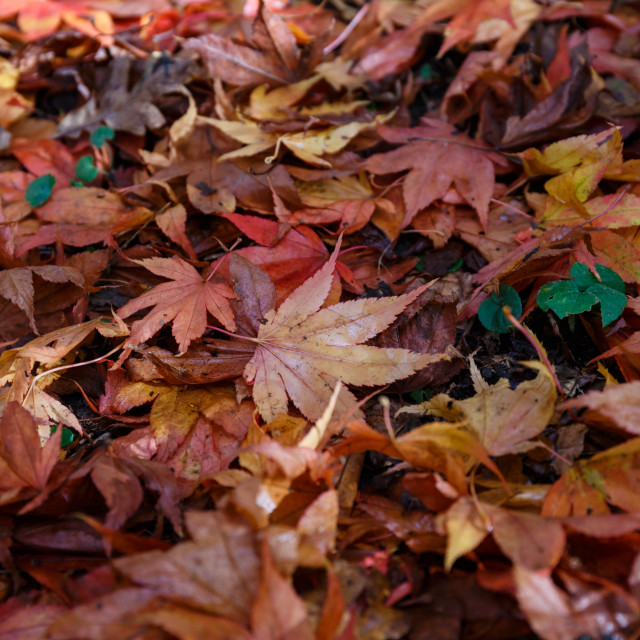 """""""Red maple leaves on the ground"""" stock image"""