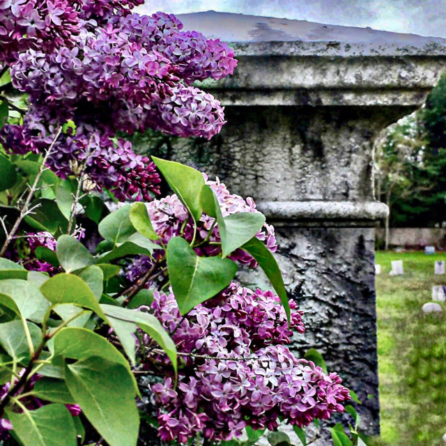 """Lilac Symbolism"" stock image"