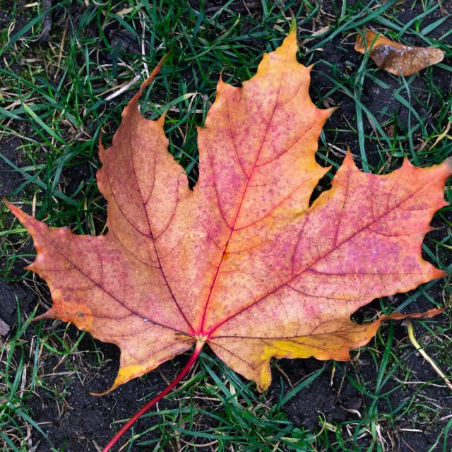 """Autumn´s maple leaf"" stock image"