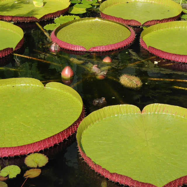 """Giant Water Lilly Leaves"" stock image"