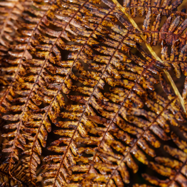 """""""Autumn fern close up with changing colours"""" stock image"""