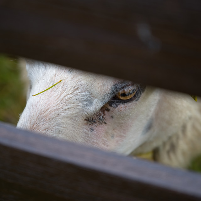 """Sheep through fence"" stock image"