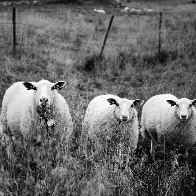"""Three sheep"" stock image"