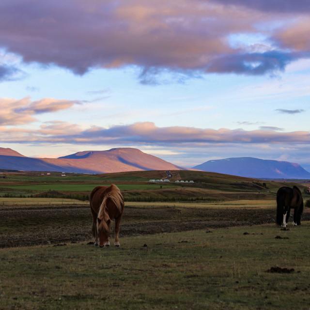 """""""Icelandic Horses at Sunrise"""" stock image"""