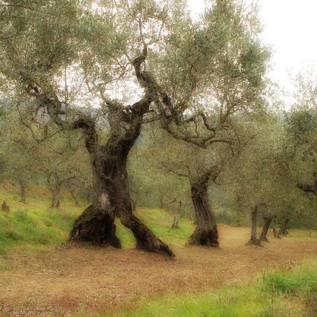"""Ancient olive trees of Cortona"" stock image"