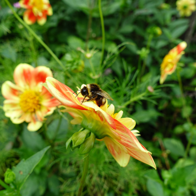 """Summer Bumble Bee, UK Garden"" stock image"