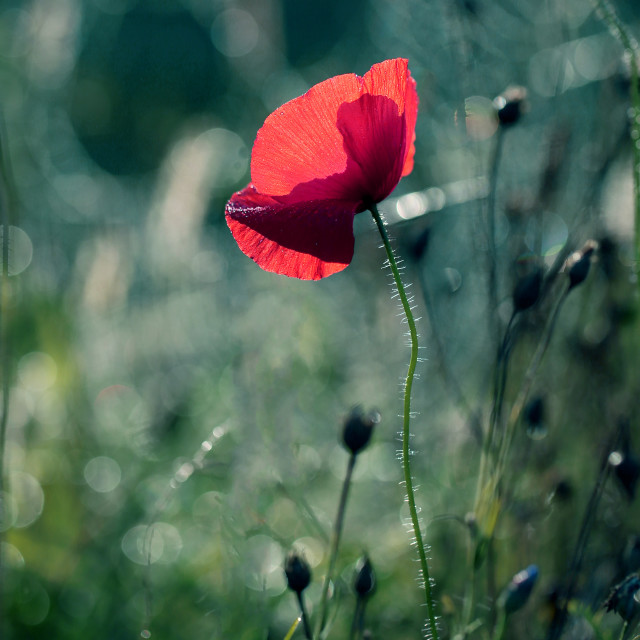 """Photo of poppies as a background for your design"" stock image"