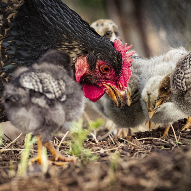 """""""Mother Hen and chicks"""" stock image"""