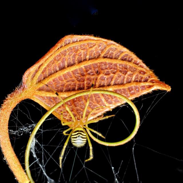 """Theridion zebrinum spider"" stock image"