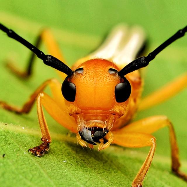 """Portrait of Orange Longhorn Beetle"" stock image"