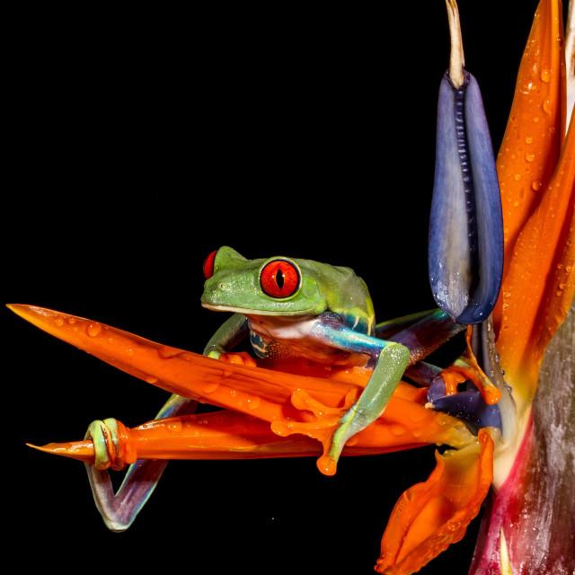 """""""Paradise Frog"""" stock image"""