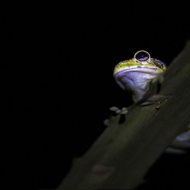 """Night frog"" stock image"