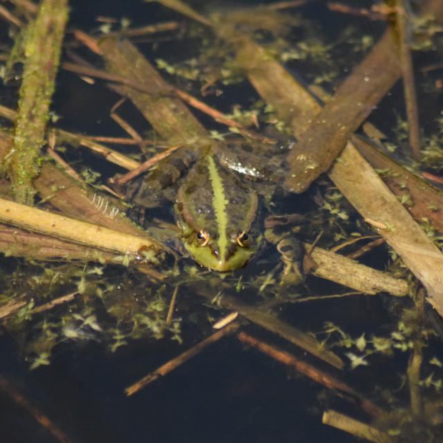 """""""Marsh Frog"""" stock image"""