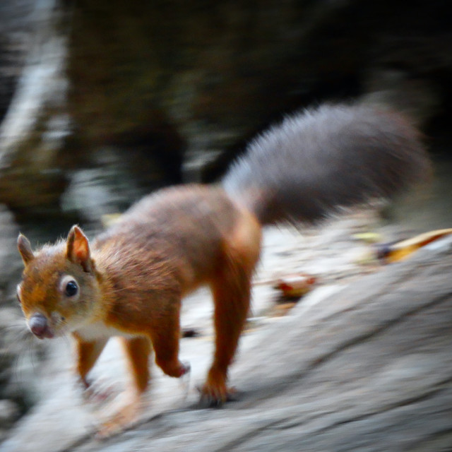 """""""Red Squirrel ......... Must Dash, Can't Stop"""" stock image"""