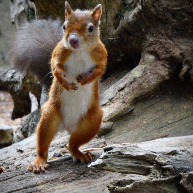 """""""Red Squirrel Standing"""" stock image"""