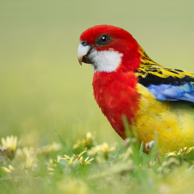 """Eastern Rosella in Capeweed Flowers"" stock image"