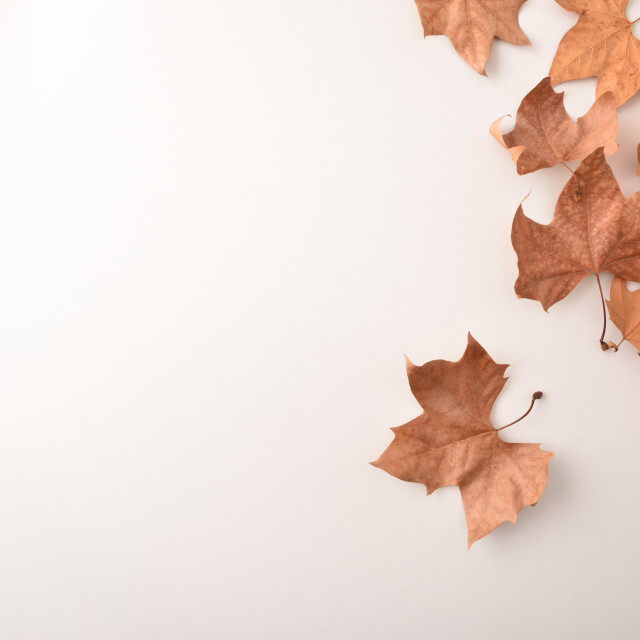 """""""Group of dried platanus leaves in a corner on white"""" stock image"""