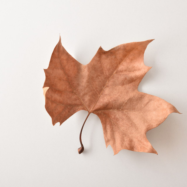 """""""Autumnal background with a dry leaf on white table"""" stock image"""