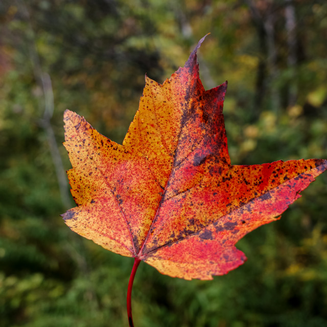 """Red and orange autumn maple leaf in the woods"" stock image"