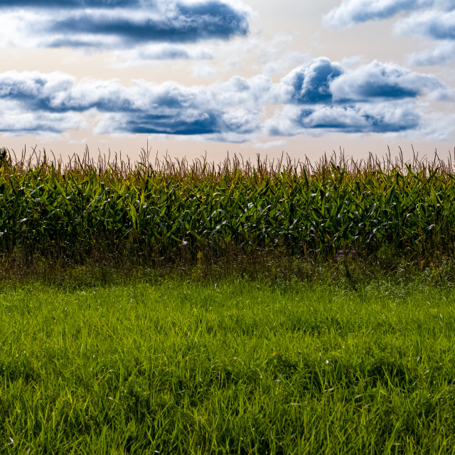 """Edge of a Cornfield with Clouds"" stock image"