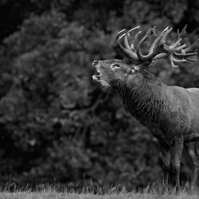 """Bellowing Stag"" stock image"