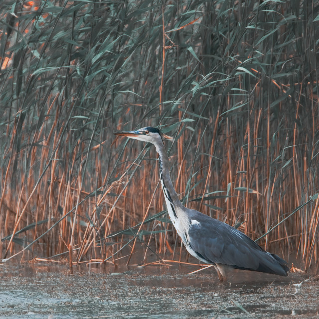 """""""Wading Heron"""" stock image"""