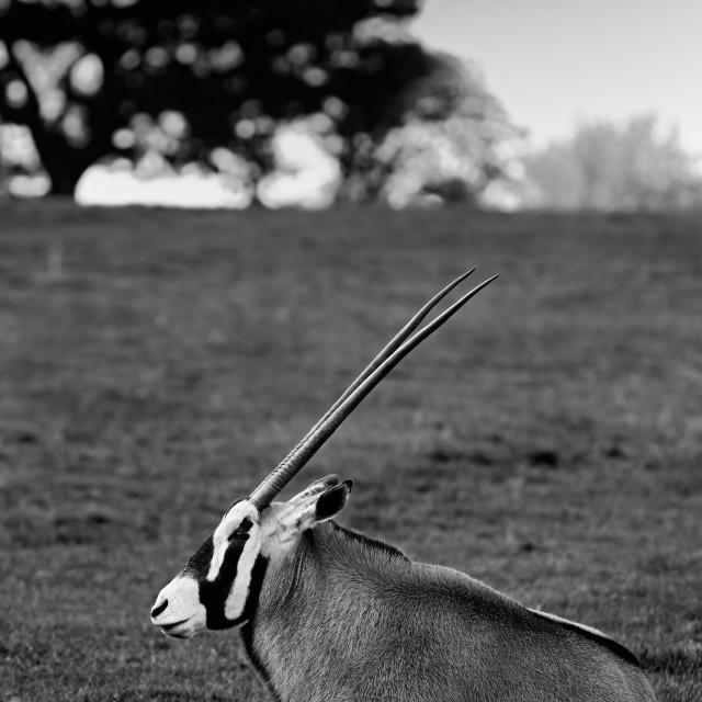 """Oryx Gazelle"" stock image"
