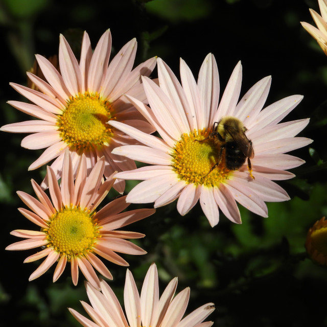 """""""Bee and Pink Daisies"""" stock image"""