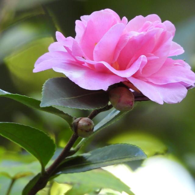 """Budding Pink Camellia"" stock image"