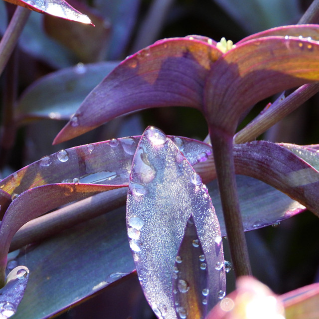 """Rain-kissed Purple Heart"" stock image"