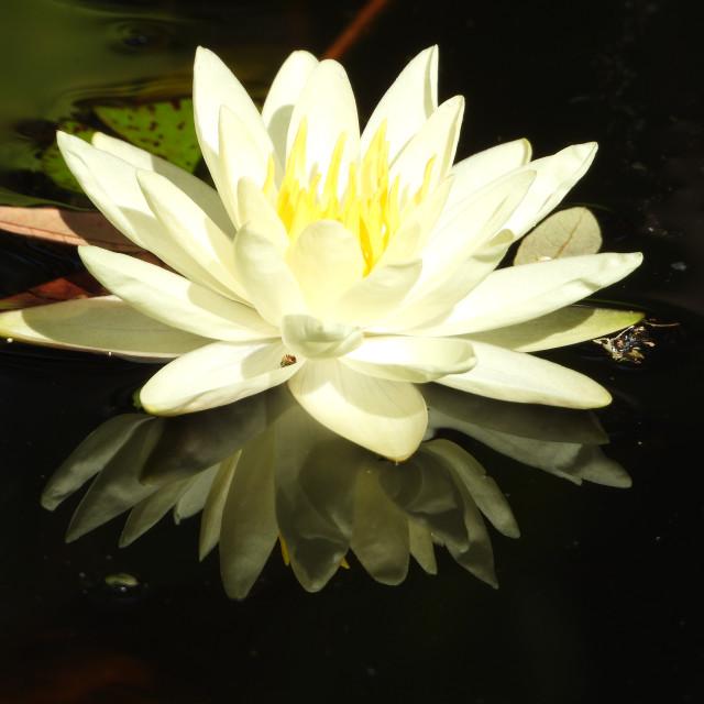 """White Waterlilies - Image 6"" stock image"