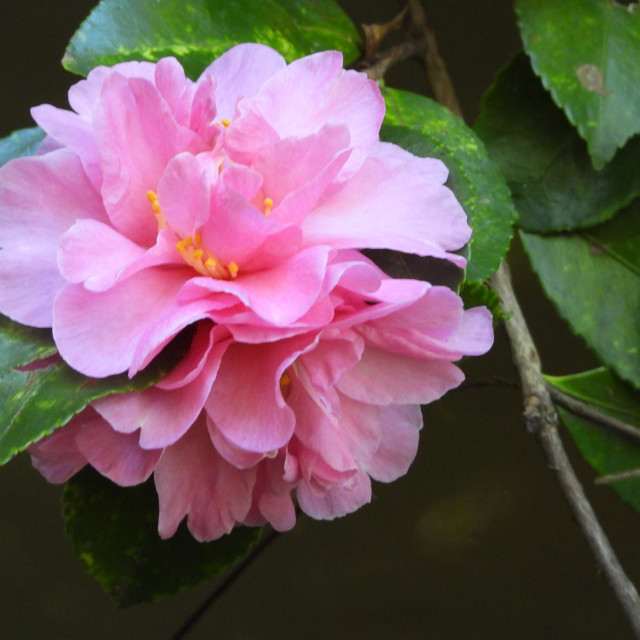 """""""Double Pink Camellia"""" stock image"""