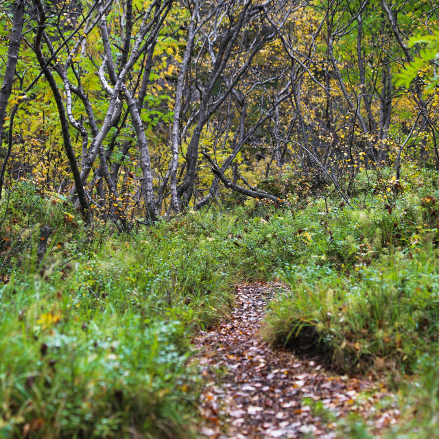 """""""Forest Trail through Asbyrgi Canyon in Iceland"""" stock image"""