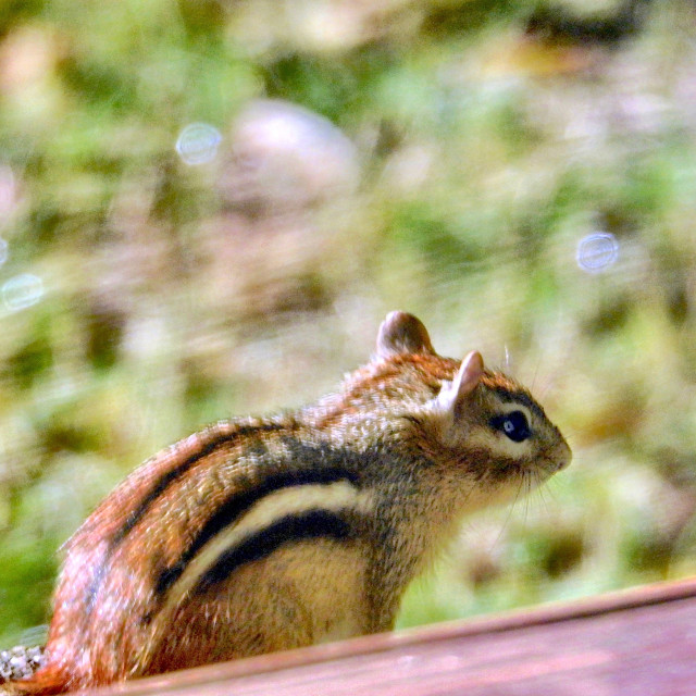 """""""Front porch Chipmunk"""" stock image"""