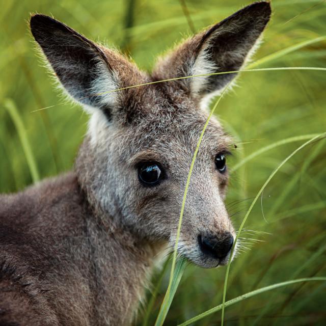 """Kangaroo Way 0298"" stock image"