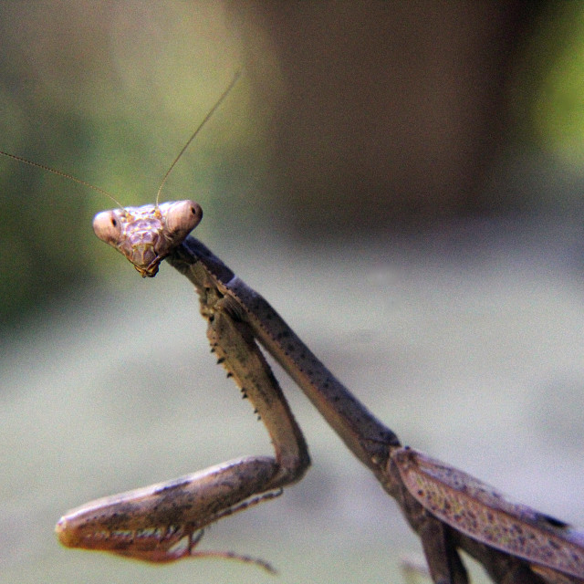 """brown praying mantis"" stock image"