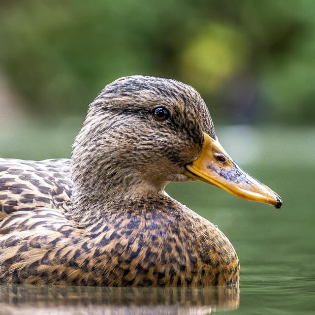 """Mallard Duck from Cherry Hinton Hall, Cambridge UK."" stock image"